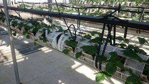 ▲車椅子にも対応できるイチゴ栽培室