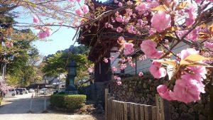 ▲境内の満開の八重桜