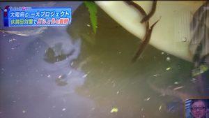 ▲体長約4cmのどじょうの稚魚