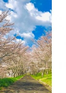 ▲最初の撮影場所となった桜並木